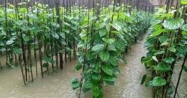 টানা বৃষ্টি-করোনায় রাজশাহীর পানচাষিরা দিশেহারা