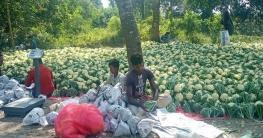 দুর্গাপুরে ফুলকপি চাষে ভাগ্য বদলে যাচ্ছে কৃষকের