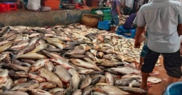 রাজশাহী নগরীতে বড় বড় রুই-কাতলার কেজি ৫০ টাকা
