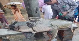 রাজশাহীর পদ্মায় ধরা পড়লো ৭১ কেজি ওজনের বাঘাইড়