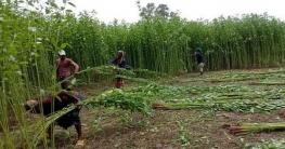 রাজশাহীতে পাটের দামে কৃষকের মুখে সোনালি হাসি