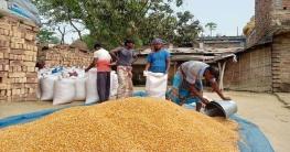 রাজশাহীতে ভুট্টার বাম্পার ফলন, দামও ভাল