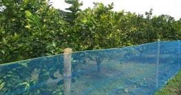 রাজশাহীর বরেন্দ্র অঞ্চলে বাণিজ্যিকভাবে মাল্টা চাষ