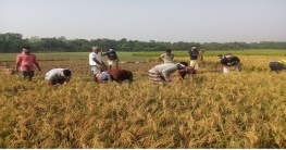বাঘায় কৃষকের ধান কেটে দিল রাজশাহী জেলা ছাত্রলীগ