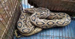 রাজশাহীতে দিনে ৫টি, গোদাগাড়ী-বাঘায় ১৫ দিনে ৮৮টি সাপ মারা পড়েছে