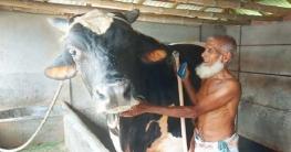 পুঠিয়ার 'শান্ত বাবুর' ওজন ৩০ মণ দাম হাঁকছেন ২০ লাখ
