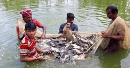রাজশাহীতে অর্ধলক্ষাধিক পুকুরে বছরে দেড় হাজার কোটির মাছ উৎপাদন