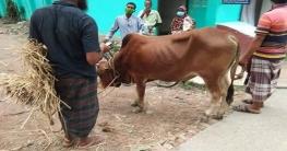 দুর্গাপুরে চুরি করে পালানোর সময় গরু ও ট্রাক রেখেই পালিয়েছে চোর