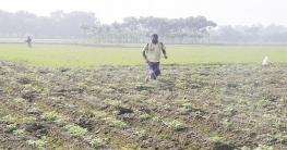 রাজশাহীতে কুয়াশায় আলু ও বীজতলায় রোগ সংক্রমণের শঙ্কা